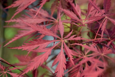 Acer Dissectum Inaba Shidare
